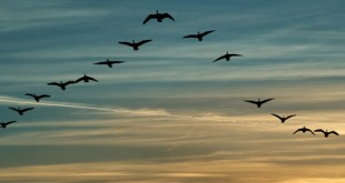 Ducks flying, leadership